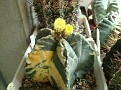 Astrophytum myriostigma variegata ' HEKIRAN NISIKI '