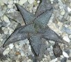 Haworthia koelmaniorum -Groblersdal