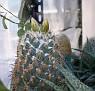 Coryphantha cornifera hybrid