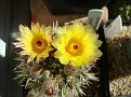 Notocactus mammulosus