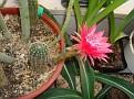 Echinopsis hybrid cv  temptress