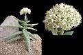 Crassula perfoliata Wijliespoort