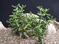 Crassula peploides ssp. expansa