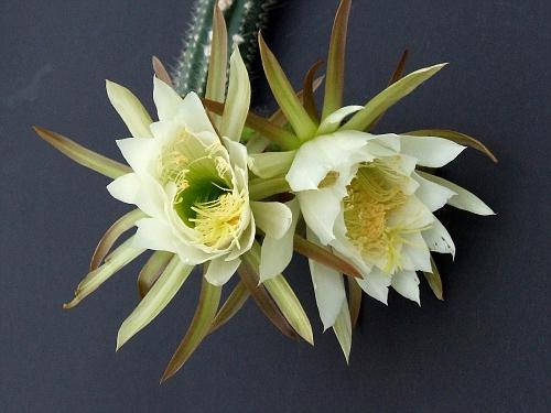 Trichocereus arboricola