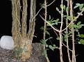 Commiphora humbertii