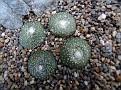 Blosfeldia pedicellata
