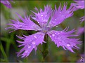DSCN1356 Dianthus sp  fra Shawn 02 08 12