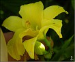 DSCN1492 Hemerocallis sp  mini 05 08 12