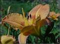 DSCN1434 Hemerocallis 'Strawberry Candy' maybe 04 08 12