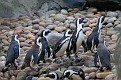 African Penguins Expect Food Really Soon