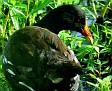 Purple Gallinule ducking away