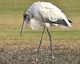 (ugly) Wood Stork
