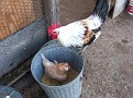 Smart Chickens / Go where the food is!!!