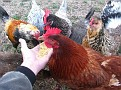 Henrietta!!!  A New Hampshire Red...  but looks like a Rhode Island Red.