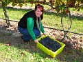Grape Picking at Natali's Vineyard 10-21-09 (27)