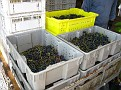 Grape Picking at Natali's Vineyard 10-21-09 (36)