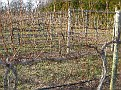 Grape Vines yest to be pruned...