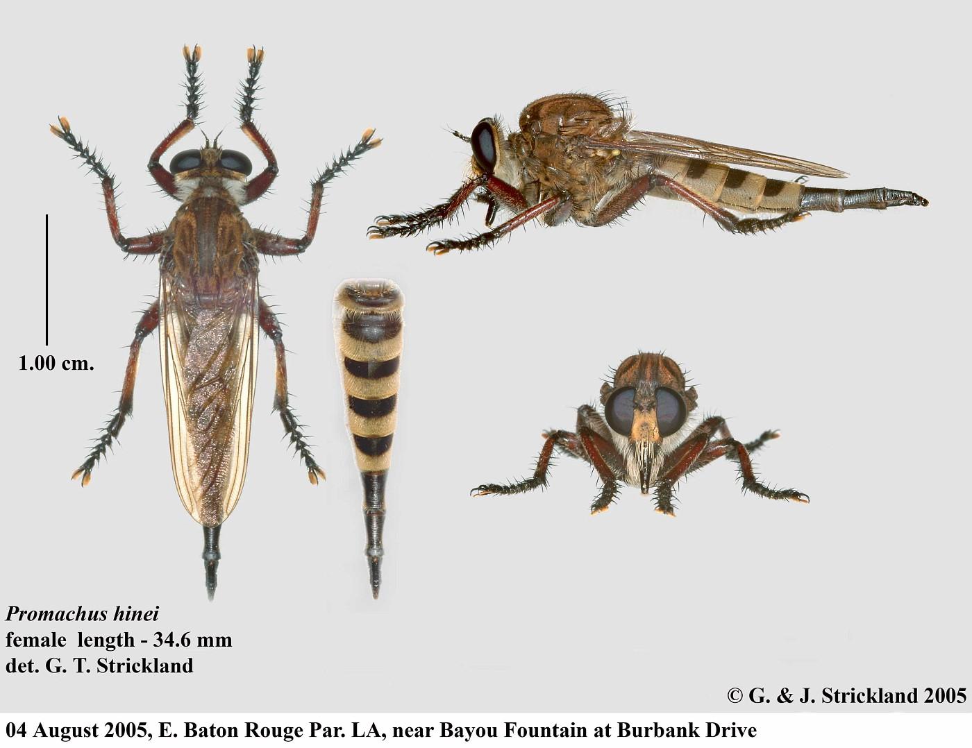 0059b Promachus hinei female 01
