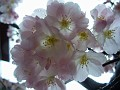 Cherry(?)  flowers