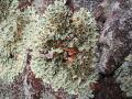 Lichen, Lauriault Trail, Gatineau Park