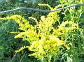 Kevin's photo of Goldenrod