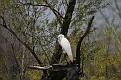 Spring Egret #6