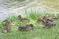 Young Mallards Taking An Afternoon Rest