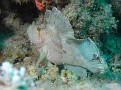 White Scorpion Leaf Fish