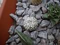 Astrophytum asteras ssp. Superkabuto