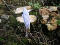 Crocus laevigatus (2)