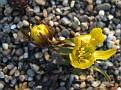 Eranthus hyemalis