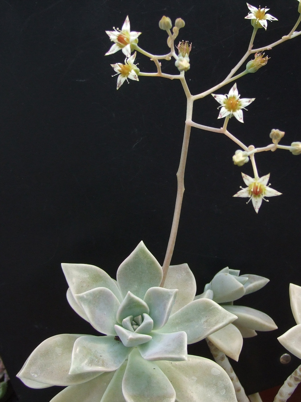 Graptopetalum paraquensis